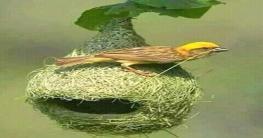 বিলুপ্তির পথে নিপূণ কারিগর বাবুই পাখির বাসা