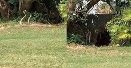 গলফ মাঠে দুটি সাপের উদ্দাম নাচ, চমকে গেলেন নেটিজেনরা
