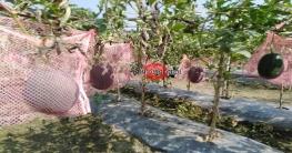 বেবি তরমুজ চাষে আগ্রহ বেড়েছে জাজিরার চাষিদের