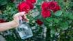 গরমেও টবের গাছে প্রচুর গোলাপ পাবেন এই পদ্ধতিতে