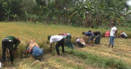 ঝিনাইদহে কৃষকের ধান কেটে দিল ছাত্রলীগ
