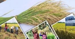 আগাম 'বিনা' ধানে কম খরচে বেশি ফলন